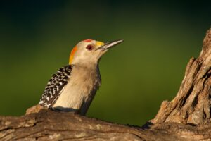 Golden-fronted Woodpecker 1