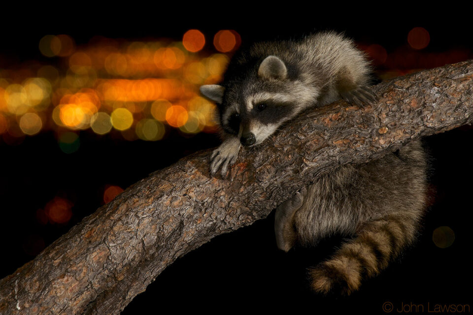 Raccoon (2) D800E + 300mm f4 PF