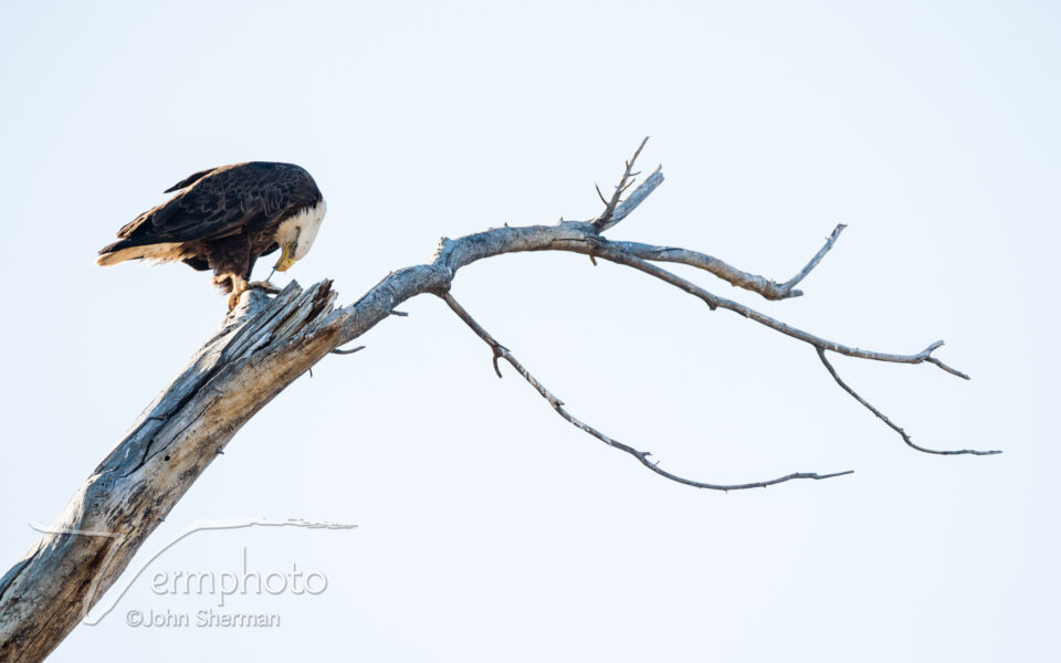 Verm-Bald-eagle-eating-Dead-Horse-Ranch-0010 copy