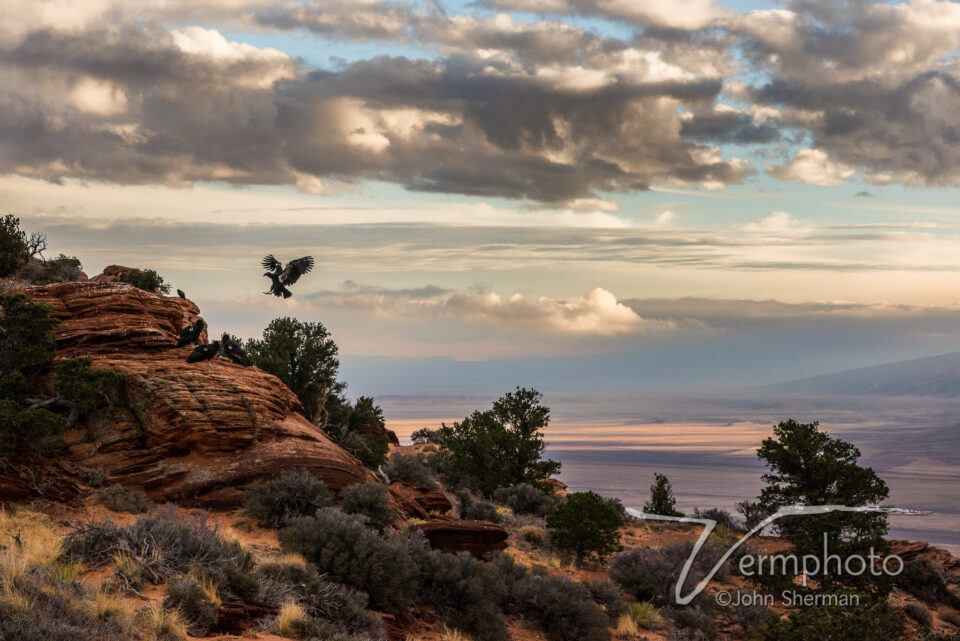 Verm-California-Condor-Vermillion-Cliffs-3918-2