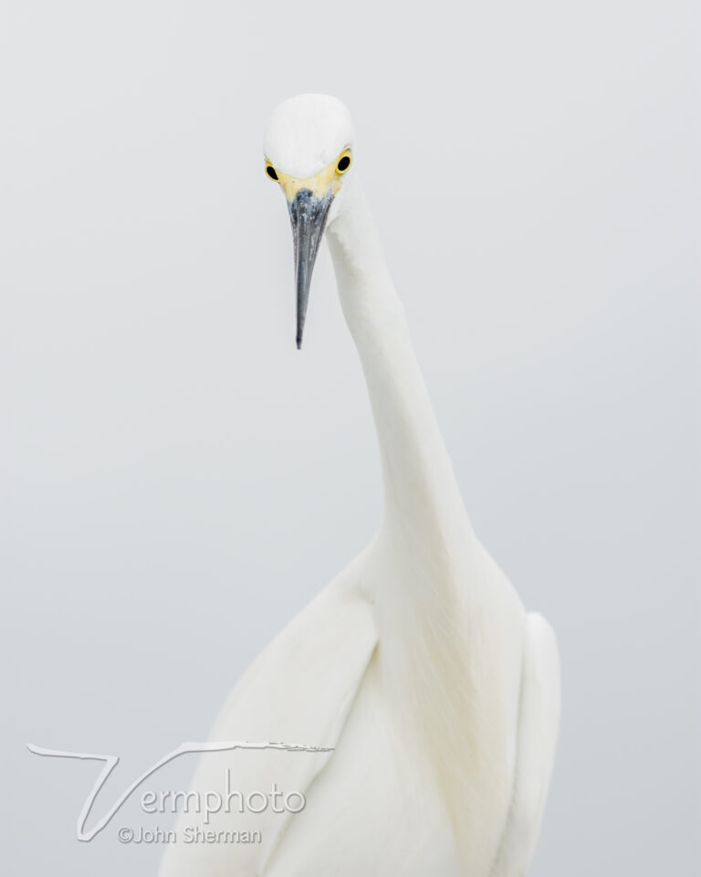 Verm-Great-egret-highkey-Gatorland-729916