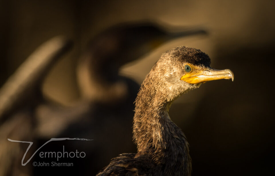 Double-crested Cormorants are superb fishermen; Gilbert Water Ranch, AZ.