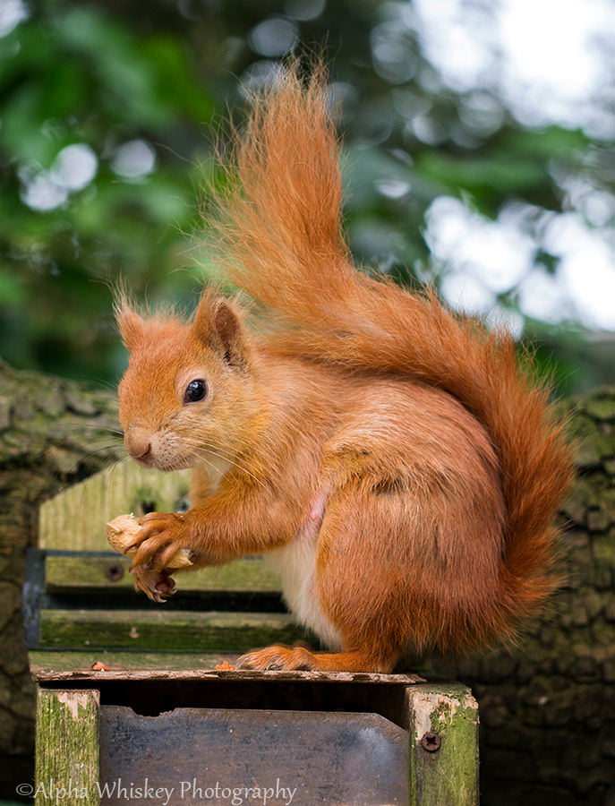 2 Red Squirrel