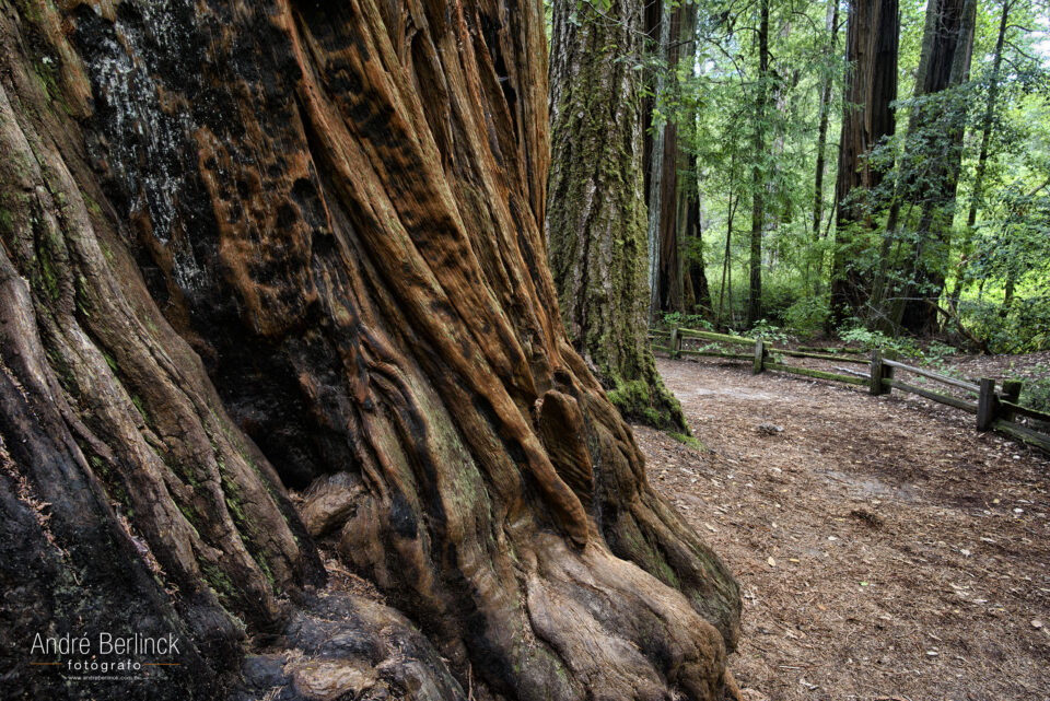 Big Basin Redwoods #3