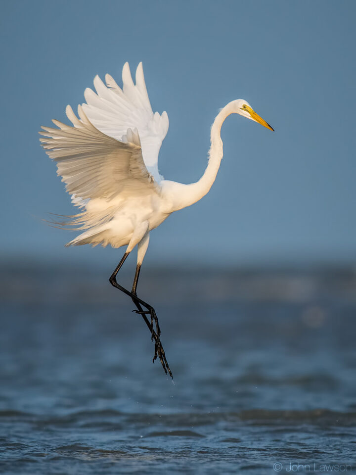 Great Egret - Nikon D500, 600mm f/4, ISO 800 1/2500s f/5.6