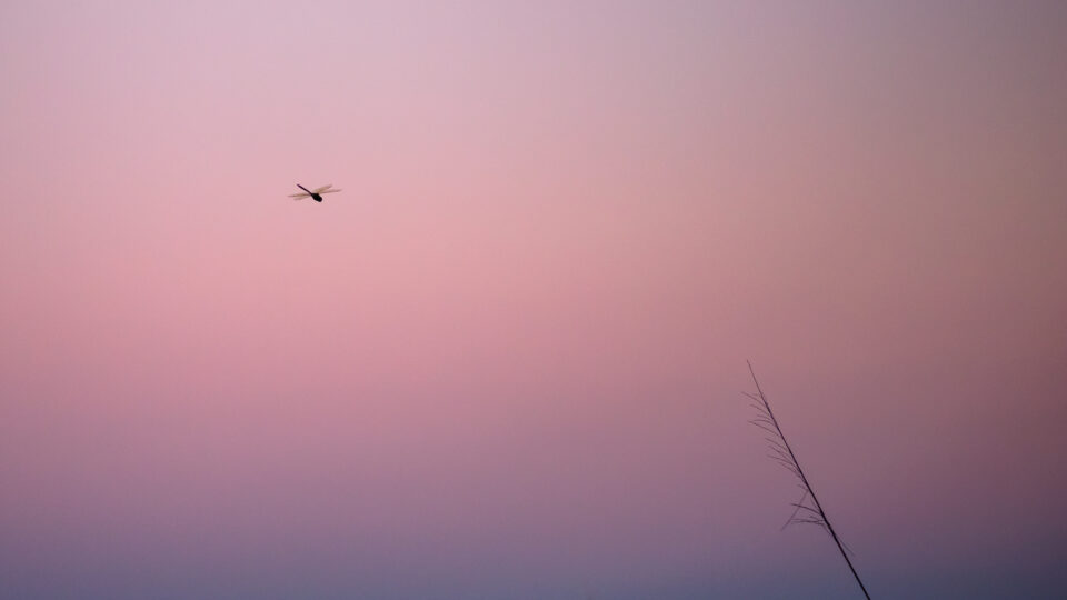 Dragonfly at a Pink Sunset