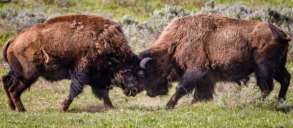 This photo from Yellowstone National Park was taken with the Nikon D500 DSLR camera. It shows two bison fighting.