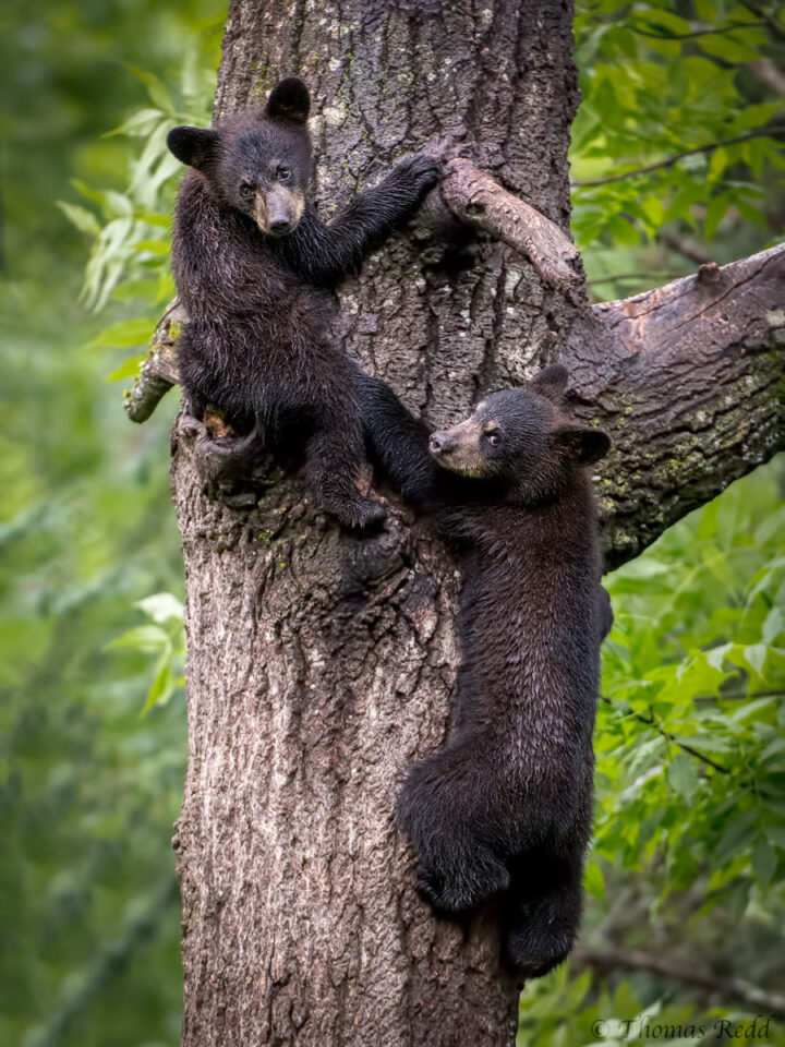 Black Bear cubs - Nikon D500, 70-200mm f/2.8 @ 200mm, ISO 3200 1/400s f/3.5