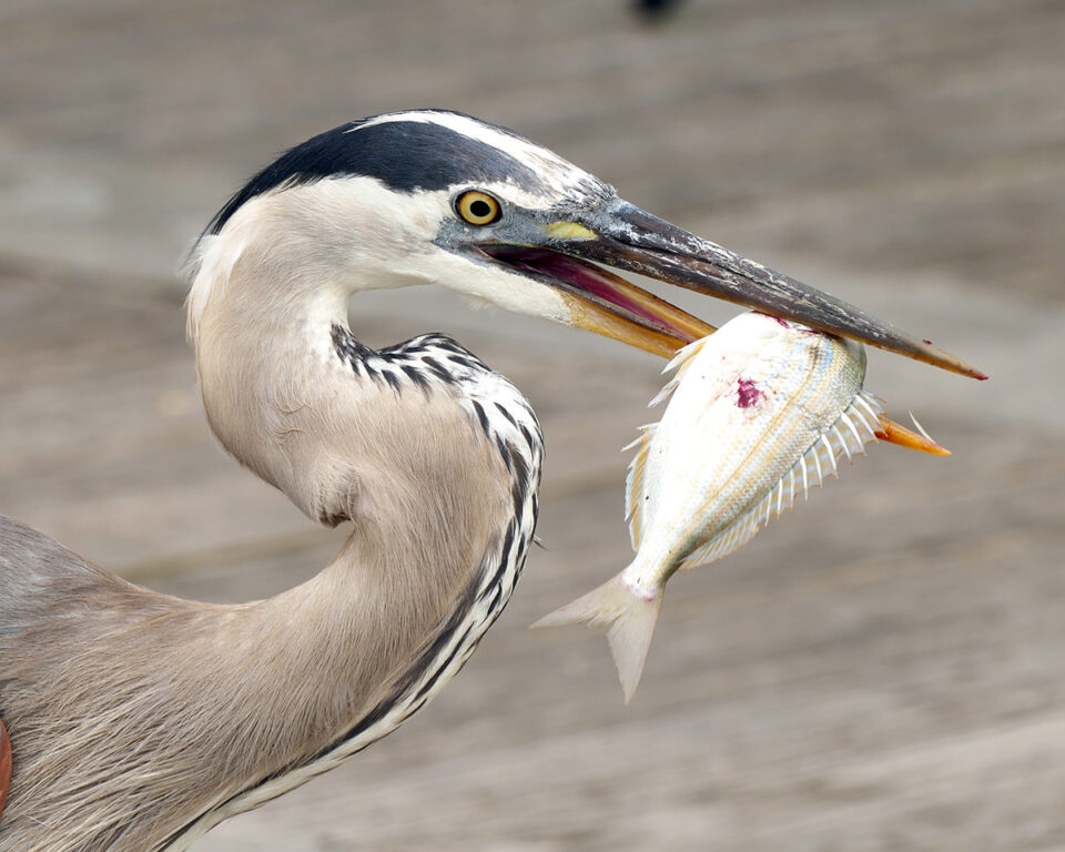 I had access to some great looking Great Blue Herons on my trip. This one was photographed in Alabama near the coast