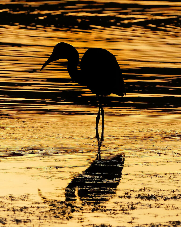 This was taken at sunset at the Spruce Run Reservoir in NJ. The egret kept moving closer to me, allowing to get a more detailed shot. The silhouette and beautiful reflections on the water really make this photo