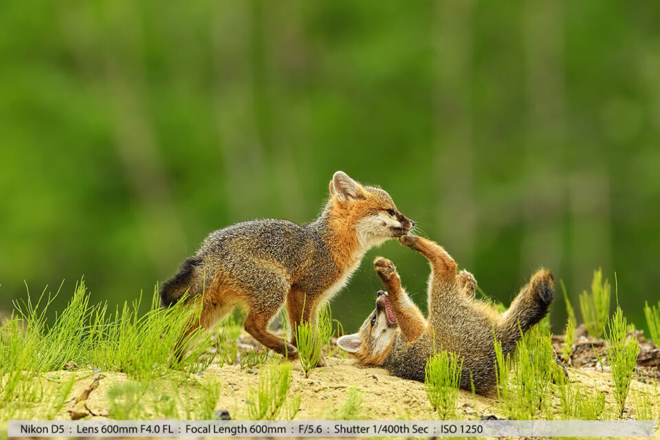 2 Gray Fox Kits Play Fighting in Sand