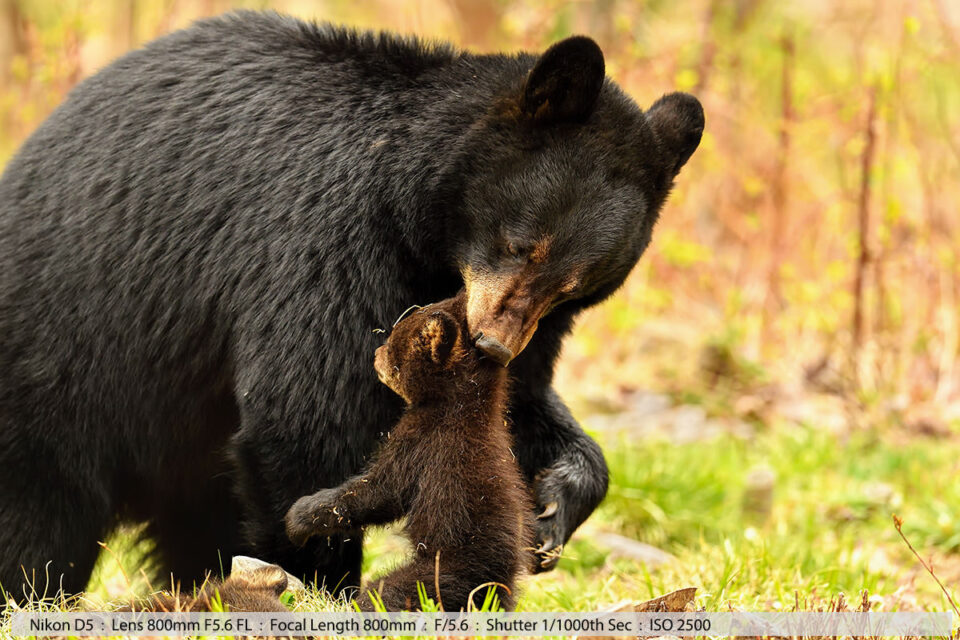 Female Black Bear Picking Up One of Her Two Tiny Cubs