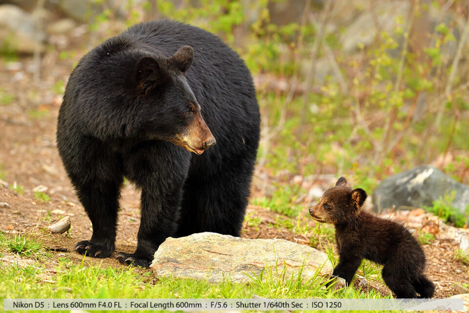 Female Black Bear with One of Her Two Cubs in Field