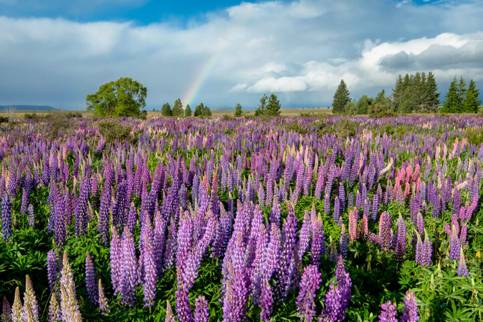 Rainbow and Lupines, New Zealand. I often intentionally choose the