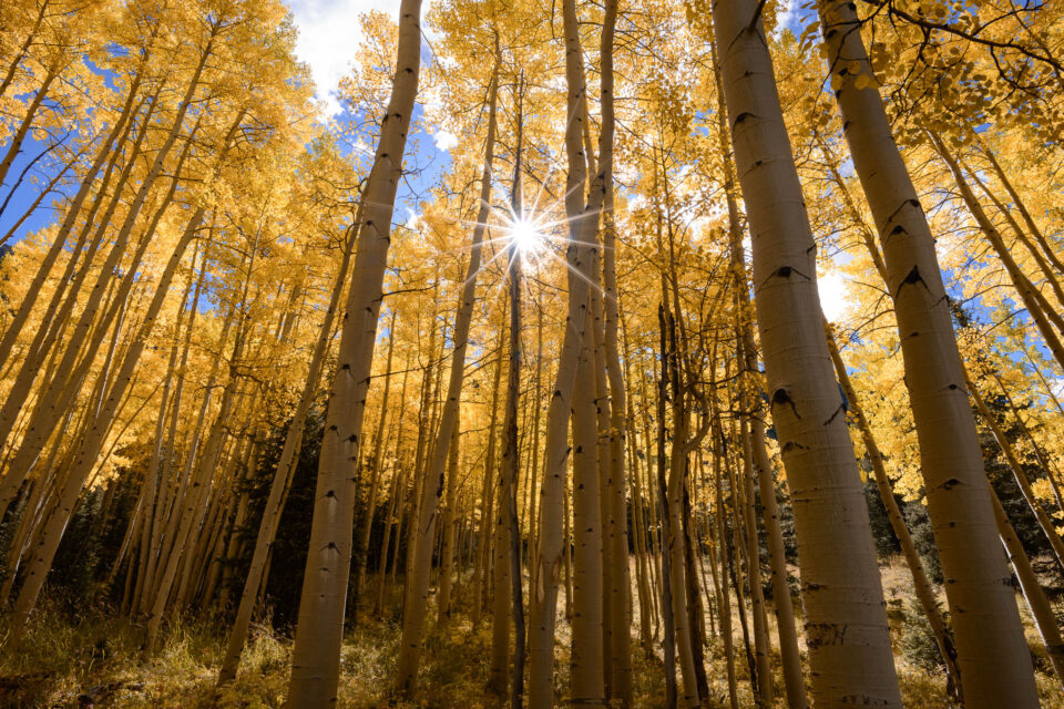 A photo of aspen trees with the sun appearing as a sunburst