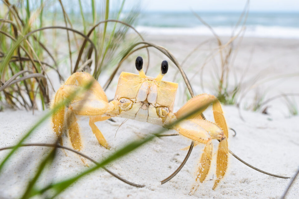Intentional composition of a crab