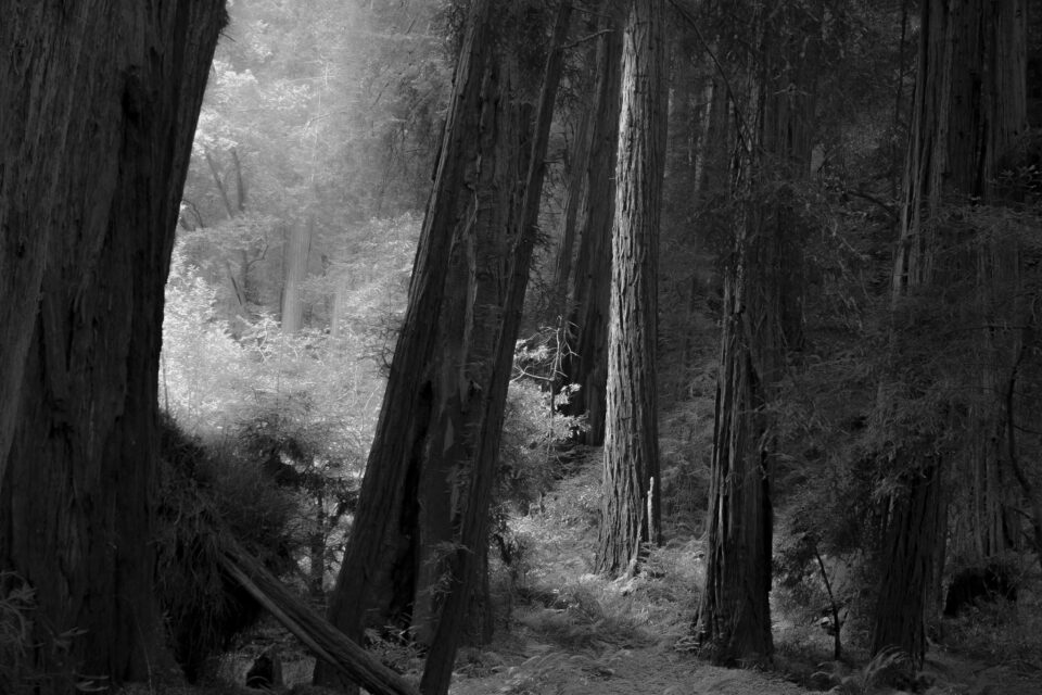 Simplified redwood forest photo