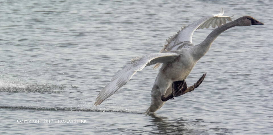 winter water birds 1