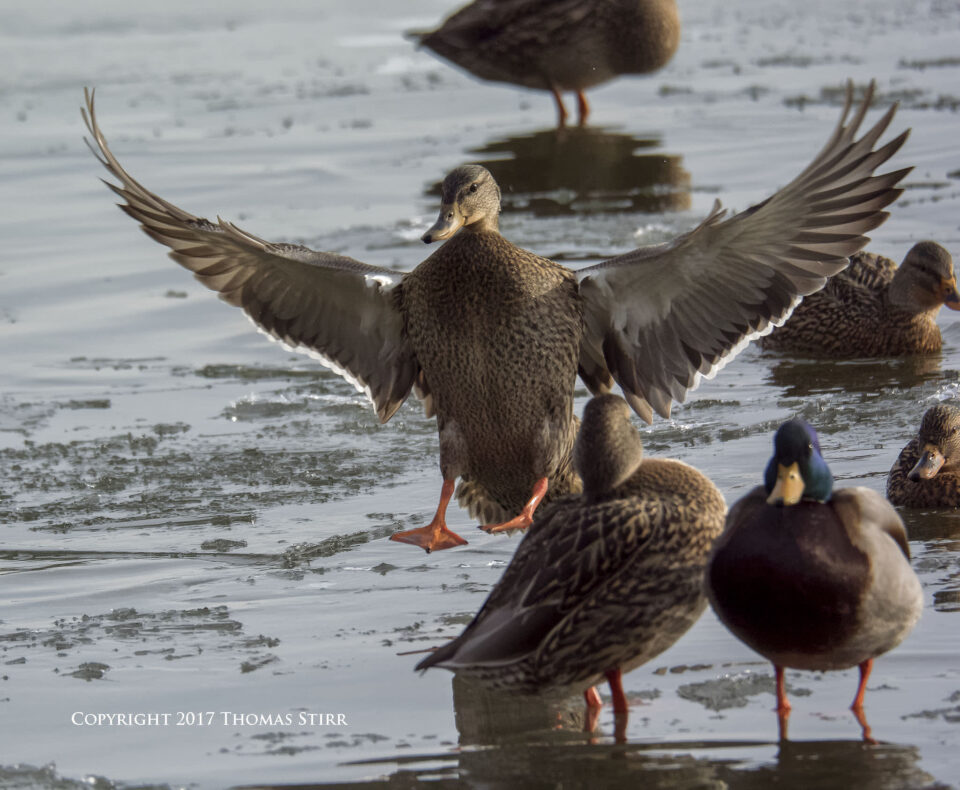 winter water birds 2