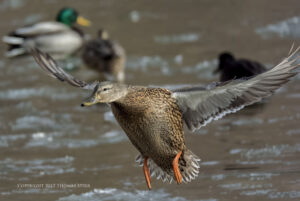 Photographing Water Birds in Winter
