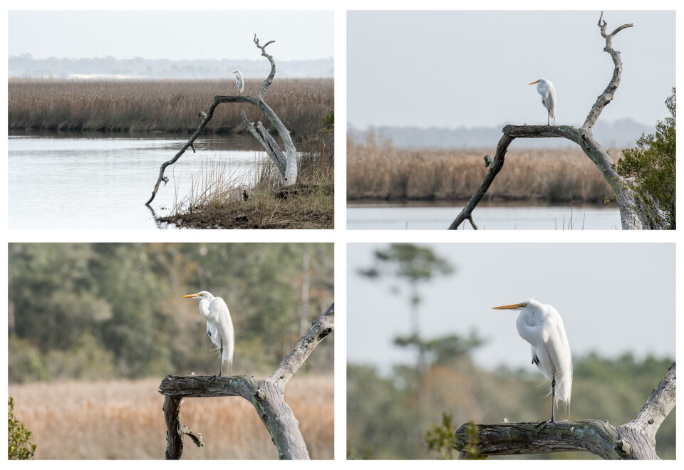 Great Egret Composite