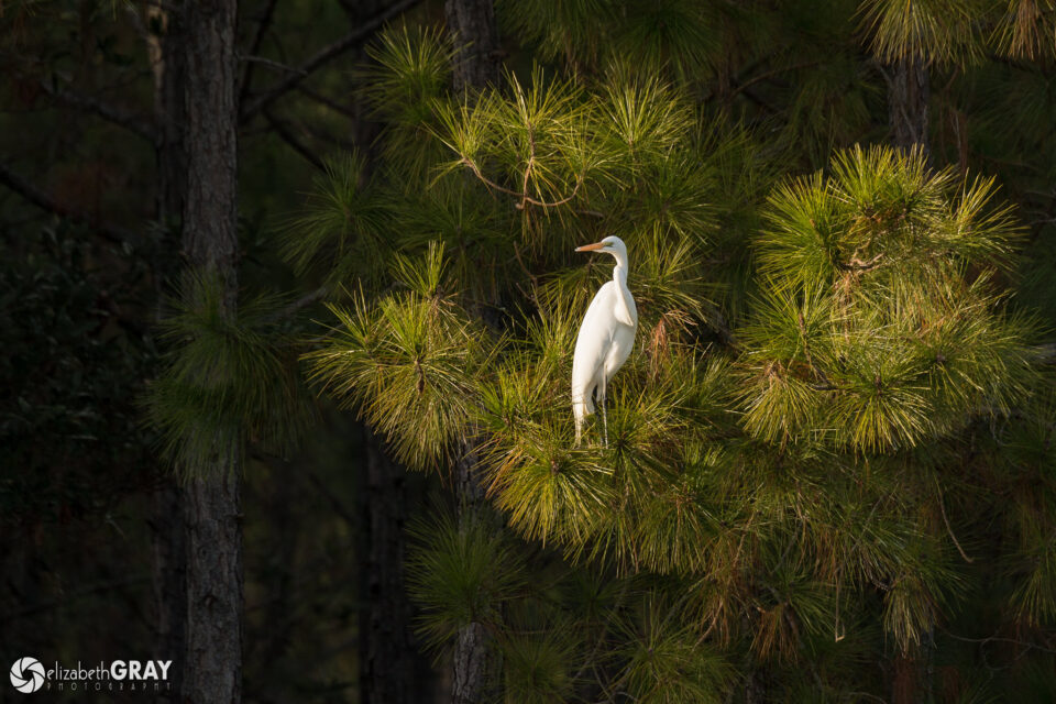 Great Egret in Pine
