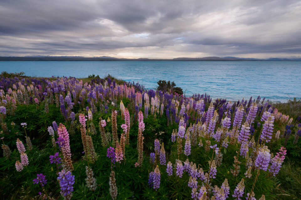 Spencer-Cox-Lupine-Flowers