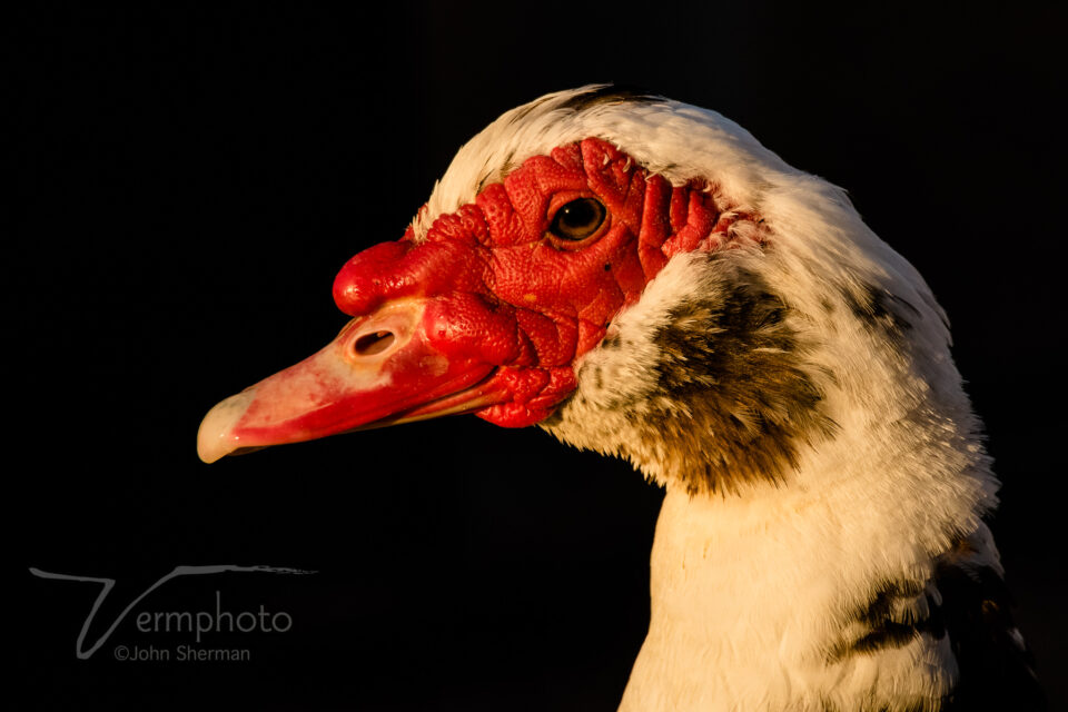 Verm-domestic-goose-Papago-Park-3358-3