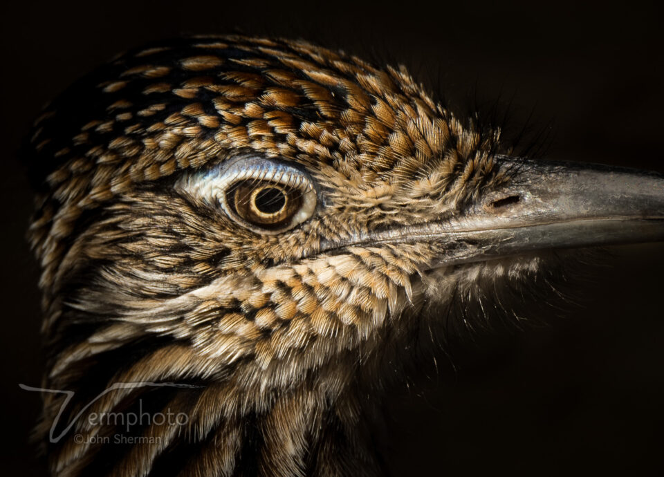 Verm-roadrunner-close-up-Sweetwater-2102