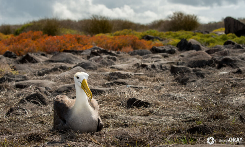 Waved Albatros Habitat