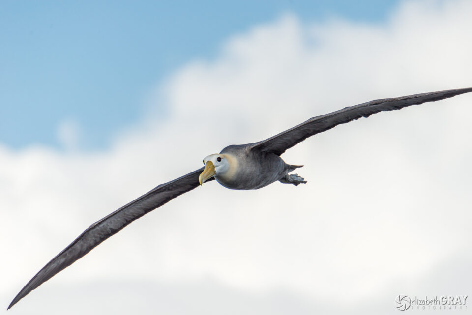 Waved Albatros in Flight