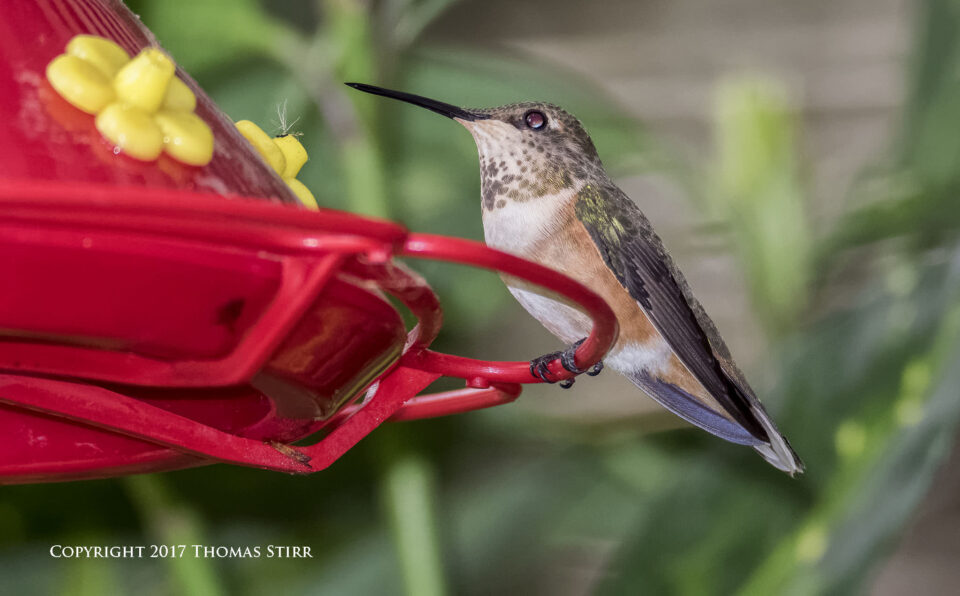 hummingbird V3 flash 1
