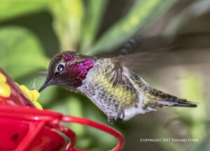 Photographing Hummingbirds With a Pop-Up Camera Flash