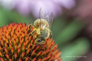 Photographing Bees with Extension Tubes and Five Different Lenses
