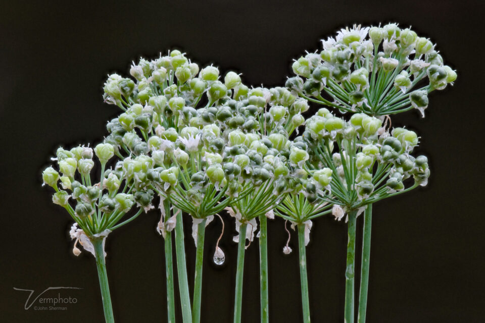 Focus stack of Chives in Zerene Stacker