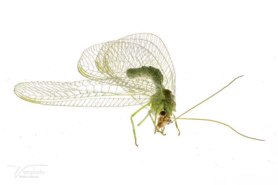 Image of Lacewing stacked in Zerene Stacker