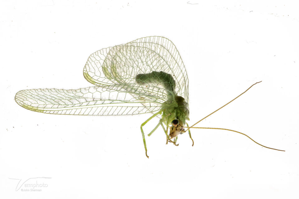 Image of Lacewing stacked in Helicon Focus
