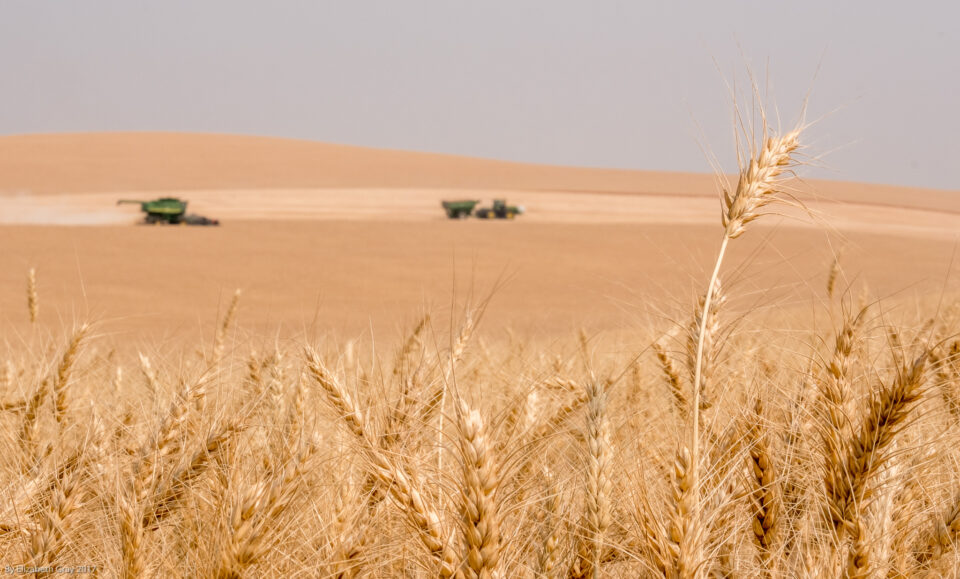 Combine Truck and Wheat