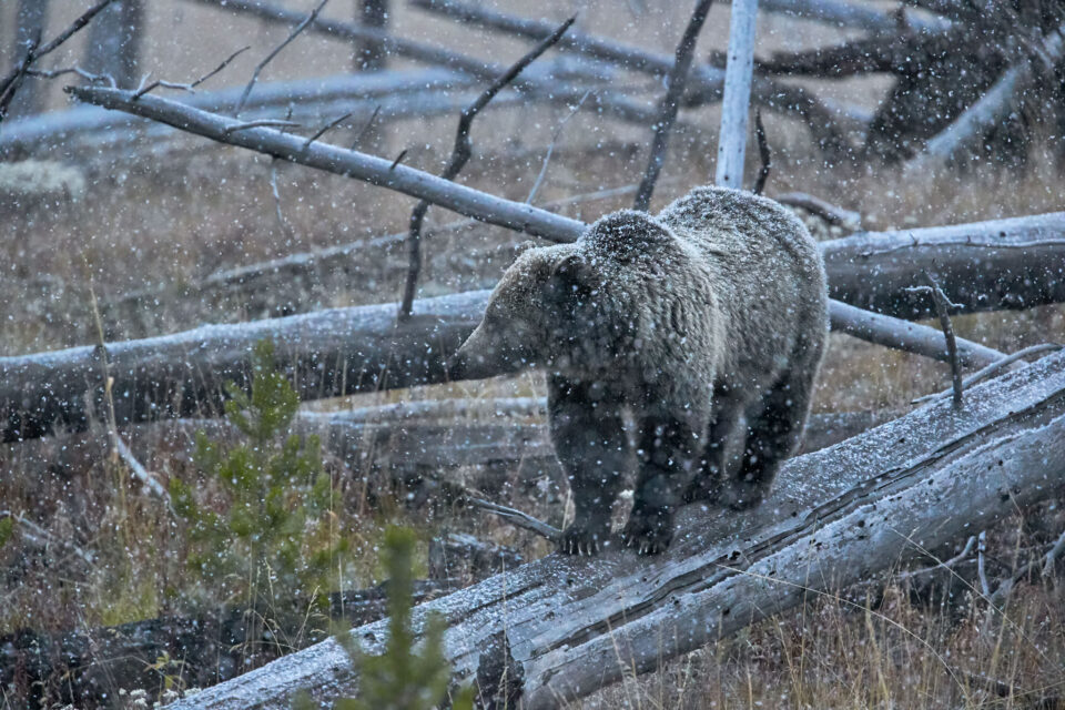 Grizzly Bear Walking on a Log