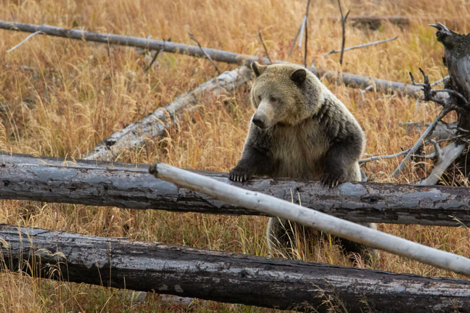 Grizzly Bear on Logs