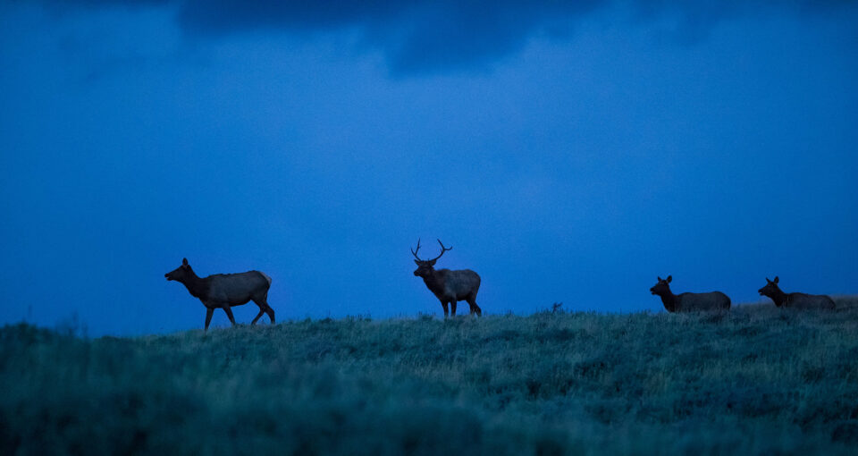 Elk at Night