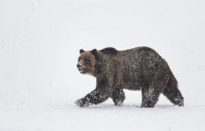 How to Photograph Wildlife in Yellowstone National Park