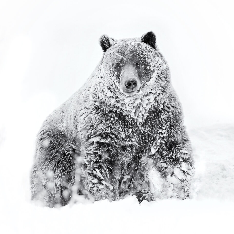 Grizzly Bear Portrait in Snow