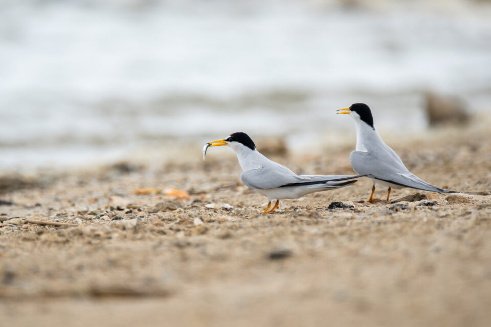 Least tern pair