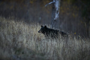 Photographing Wildlife in Yellowstone (11)