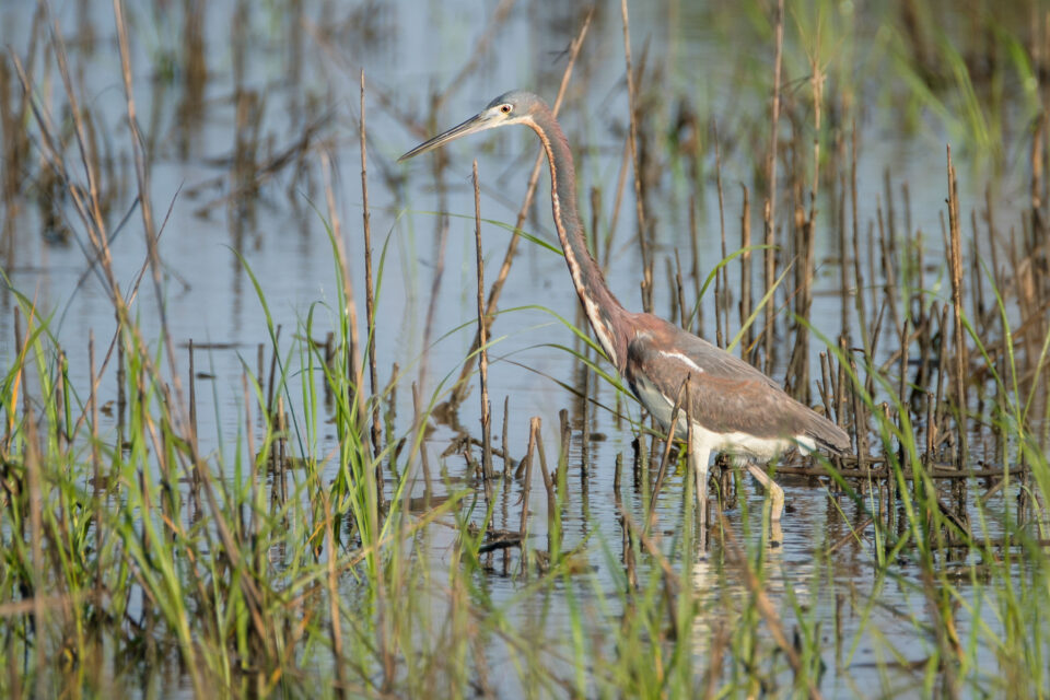 Tri-Colored Heron in Reeds
