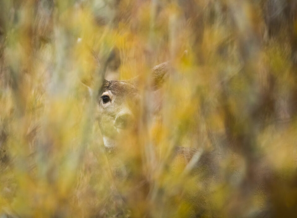 Deer Through Bushes