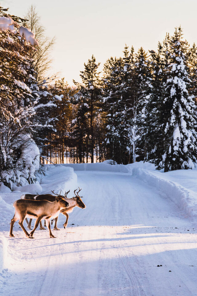 Reindeer Crossing the Road