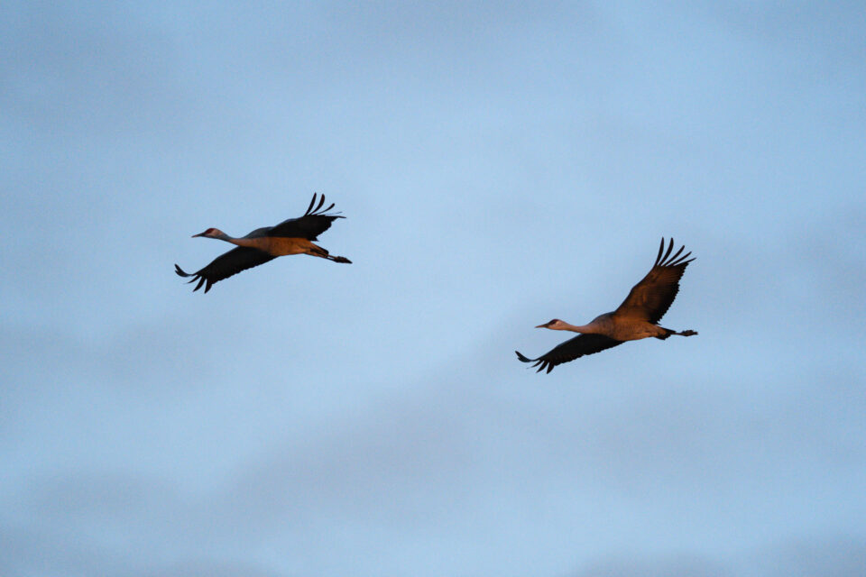 An image of sandhill cranes, captured in aperture priority mode with Auto ISO