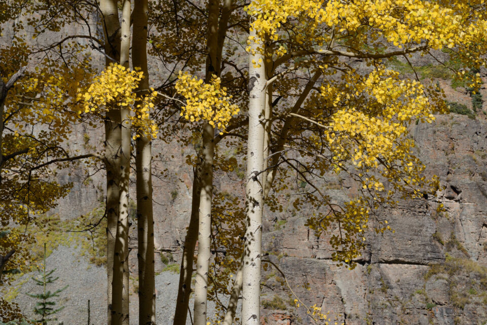 Aspen Trees in Sunlight